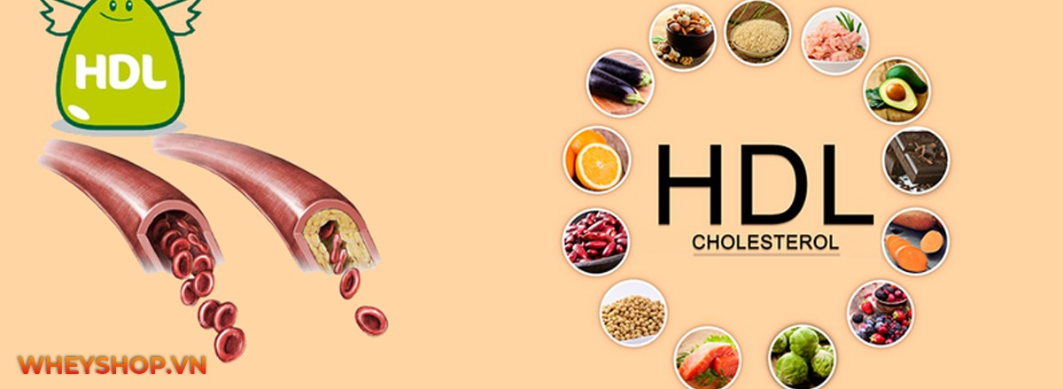 HDL cholesterol là gì? Tìm hiểu vai trò, lợi ích của HDL Cholesterol và dinh dưỡng và tập luyện thế nào để nâng cao nồng độ HDL Cholesterol cho người tập gym?