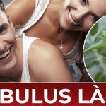 Tribulus là gì ? Tìm hiểu lợi ích của Tribulus có giúp cải thiện sinh lý, tăng testosterone không ? Tribulus Terretris có tốt không ...