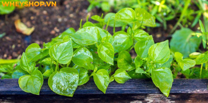 Rau càng cua là loại rau mọc dại ở Việt Nam, nhưng nó lại mang đến cho người dùng khá nhiều lợi ích không ngờ đến. Bài viết sau đây sẽ giúp bạn hiểu rõ hơn...