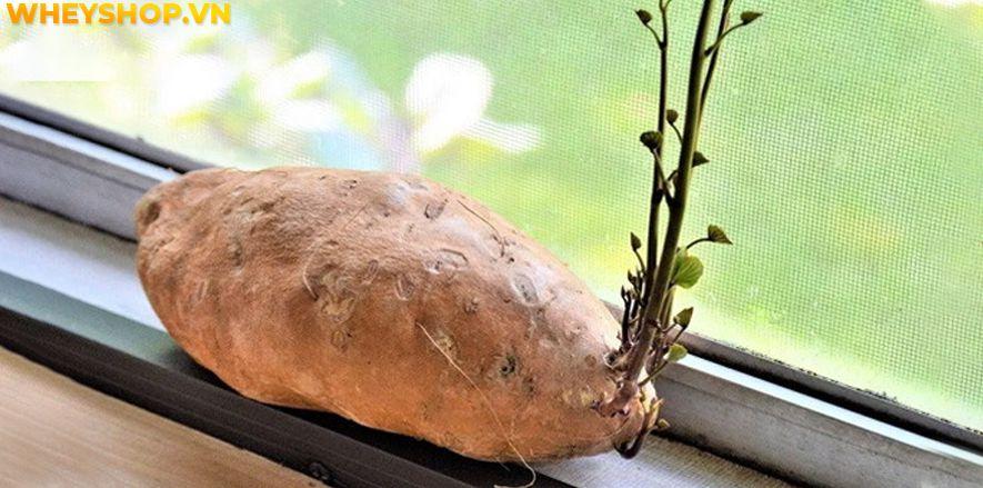 Nếu bạn đang băn khoăn khoai lang mọc mầm có ăn được không thì hãy cùng WheyShop tham khảo chi tiết bài viết ngay sau đây nhé...